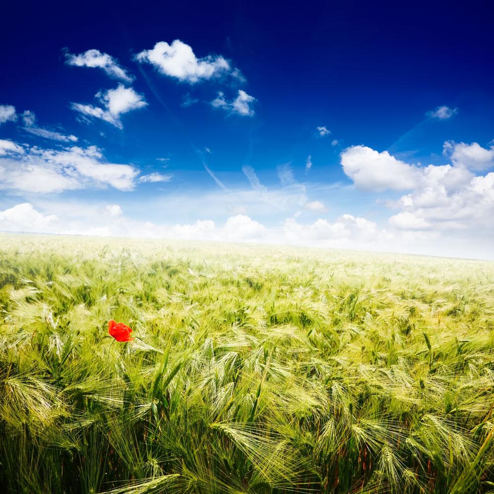 蓝天下的麦田风景图片