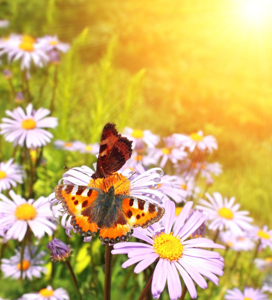 花朵上的两只蝴蝶实用背景图片